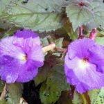 Условия выращивания ахименеса в домашних условиях