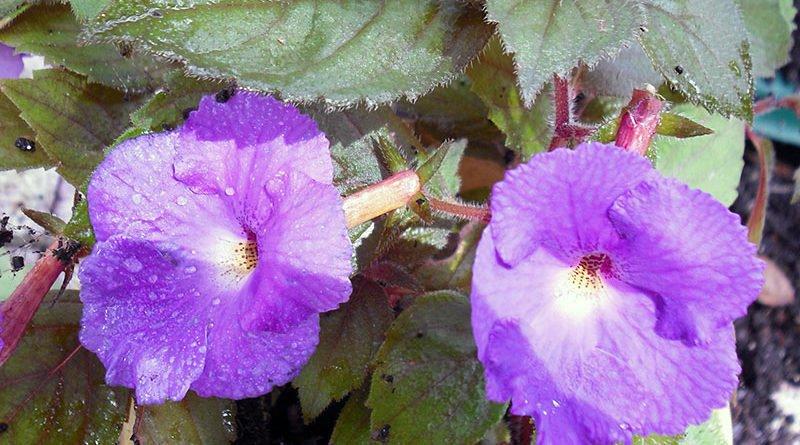 Выращивание ахименеса в домашних условиях