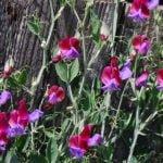 Чина душистая – посадка и выращивание