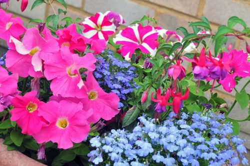 Уход за петунией в саду и дома