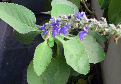 Плектрантус в домашних условиях: уход и выращивание
