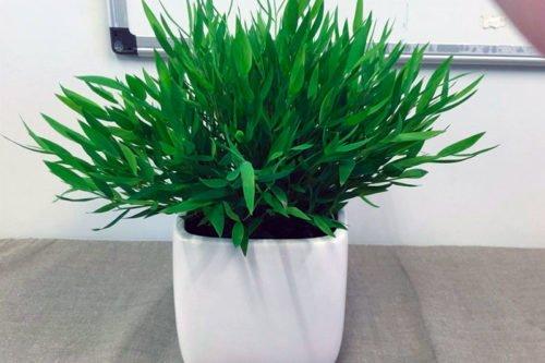 Виды погонаретума для выращивания в комнатной культуре