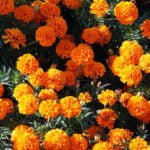 Как вырастить бархатцы в открытом грунте из семян