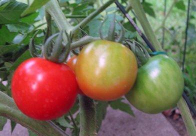 Помидоры: как получить высокий урожай