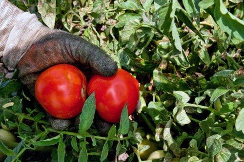 Рекомендация 7: опрыскивание помидорных кустов.