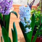 Выгонка луковичных цветов – способы и уход