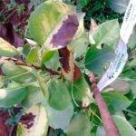 Чернеют листья на груше – что делать?