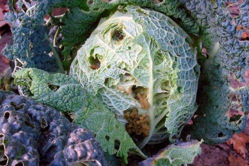 Народные средства борьбы с болезнями капусты