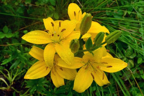 Условия посадки лилий осенью, летом и весной