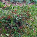 Как избавиться от поросли вишни