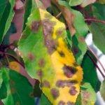 Почему желтеют листья у яблони