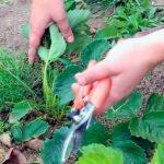 Как и когда обрезать клубнику после сбора урожая