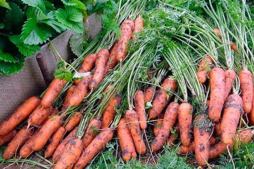 Как убирать морковь