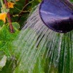 Как поливать огурцы в теплице и в открытом грунте
