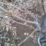 Обрезка смородины после сбора урожая