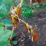 Болезни и вредители малины и борьба с ними